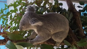 Koalas have always been on of my favorite animals, and they let you get real close at Tama Zoo.